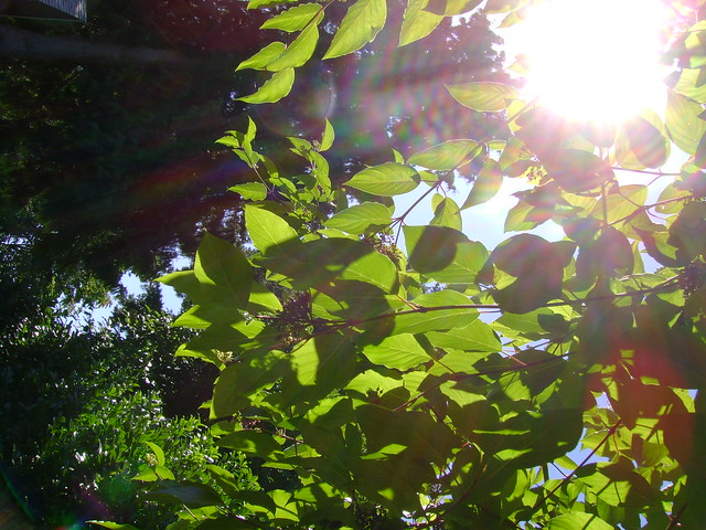 Sunlit leaves