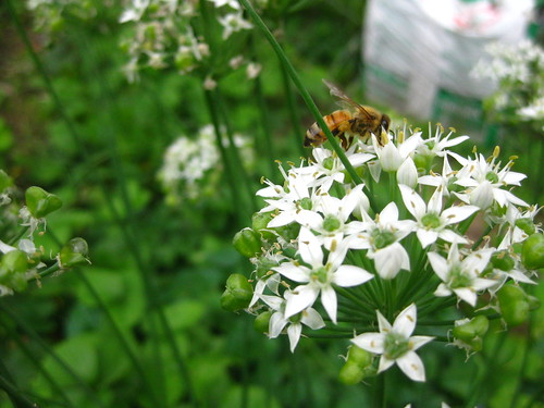 Onion Flower with Bee