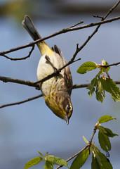 Palm Warbler-9018.jpg