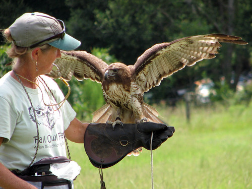 Red-tailed Hawk flight training