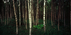 612_5+6 (A_V_P) Tags: summer panorama tree green film nature forest mediumformat russia velvia 50 612 rollfilm 6x12 toyo45