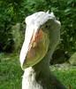 Balaeniceps rex (Merintia) Tags: captive captivity shoebill balaenicepsrex cautividad picozapato weltvogelparkwalsrode