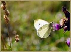 Butterfly. Schmetterling. Motl. (g.seifret) Tags: summer nature butterfly nikon estate sommer natur meadow wiese gimp natura papillon verano prado 1001nights mariposa farfalla schmetterling louka erzgebirge pr   cabbagebutterfly lto proda motl krunhory marcita natureplus te krun naturalaza buzznbugz weisling blsek d3100