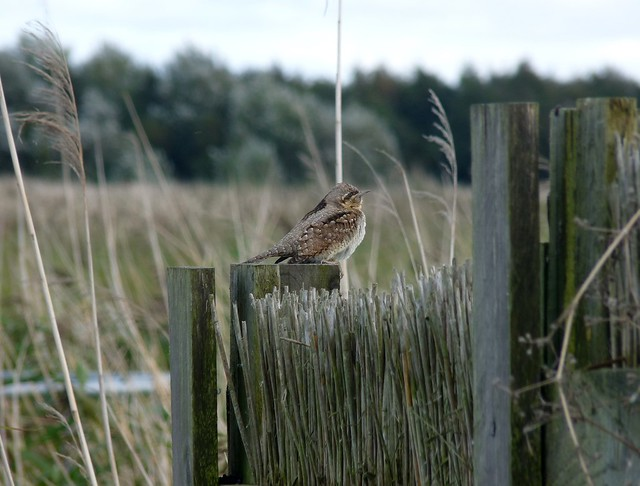 25062 - Wryneck, Newport Wetlands