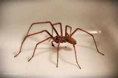 Tegenaria Domestica (Male) (Sair Jane) Tags: male spider scary flickr legs arachnid evil creepy canon350d arachnophobia arthropoda longlegs arachnida araneae housespider tegenaria tegenariadomestica malespider funnelwebweavers tdomestica