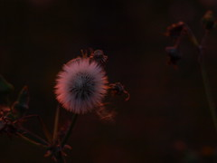 illuminated Seed Head (i.helsby) Tags: seedhead gloaming