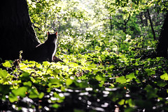 There´s a Pleasure in the Pathless Woods (franconiangirl) Tags: cat katze gato forest wald natur nature woods naturaleza gegenlicht licht blätter green grün verde bosque