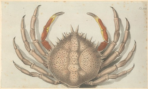 hand-coloured engraving of a crab from the 1700s by jfw herbst