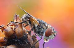 Gymnosoma rotundatum (Raupenfliege) (Siegfried Tremel) Tags: macro naturallight makro focusstack heliconfocus nikond300 nikonpb6bellows kirkmightylowboy schneiderkreuznachcomponons2850mm gymnosomarotundatumraupenfliege