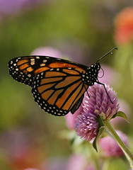 My little sunshine~ (Connie Etter Photography) Tags: pink flower butterfly garden backyard sony indiana monarch a700 70400mm