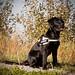 Black Labrador Retriever - Lotte -