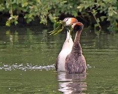 Dance (Andrew Haynes Wildlife Images) Tags: nature wildlife warwickshire grebes brandonmarsh greatcrestedgrebes ajh2008
