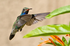 IMG_3249 Broad-billed Hummingbird (lois manowitz) Tags: arizona birds tucson hummingbirds