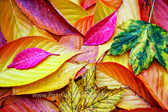 autumn colors (Patricia Fenn) Tags: leaves autumn season fall decay color colour nature natural seasonal decline growth recycle circle warm cold soft sharp green gold burned waste vegitation serated tree life death oldage