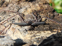 CIMG8976 (mantidboy) Tags: pet forest spider rainforest arachnid tail scorpion exotic bark scorpions whip cave charon hiding predator cf invertebrate dwelling insectivore tailless amblypygid tailess amblypygi grayii phillipenes grayi