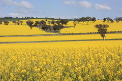 Canola cultivation, Binalong, NSW.