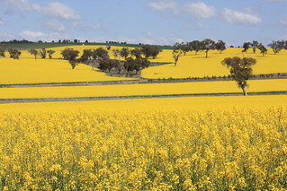 Canola cultivation, Binalong, NSW.