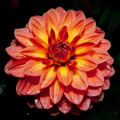 Symmetry (cotarr) Tags: leica orange flash geotag chicagobotanicgarden cameraraw poolphoto cs5 circlegarden cbgflowers dlux4 topazdenoise topazdetail cupdiffuser iphonemytracks