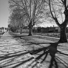7081_F (Sueca, Cami Riola) (Rafelot) Tags: blanco valencia canon arbol negro ombra sombra bn arbre blanc negre sueca riberabaixa eixidetes rafelot amicsdelacamera afsueca afcastello camiriola