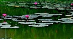 a rural refuge (BigMs.Take) Tags: pink flowers leaves rural reflections waterlily magenta tropical lilypads ponds shrubs bangladesh aquaticplants waterplants redhibiscus shapla nymphaearubra nikond300