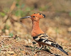 African Hoopoe (Upupa africana) (ruslou (More off than on)) Tags: nature southafrica upupaepops hoopoe africanhoopoe upupaafricana warmbaths hoephoep upupaepopsafricana ruslou belabela zwartkloofprivategamereserve