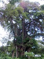 কয়ারপাড়া-চৌগাছা এর মাঝখানে আহমদ নগরের বটগাছ