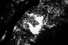Maple Leaves (Junnn) Tags: blackandwhite bw tree green wet leaves rain japan temple leaf maple kamakura photowalk osanpo engakuji 35mmf14 canonef35mmf14lusm canoneos5dmarkii silverefexpro2