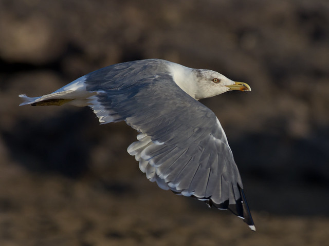 yellow legged gull in flight