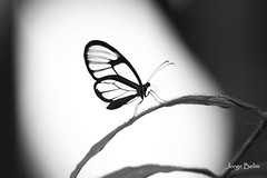 Borboleta (6055) (Jorge Belim) Tags: butterfly pb papillon borboleta mariposa preferida canoneos50d