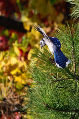 Jay in Pine DSC_2781 by Mully410 * Images