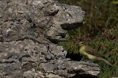 Nouvelle chaine alimentaire (Le No) Tags: bird 31 oiseau hautegaronne midipyrnes willowwarbler phylloscopustrochilus stlon lauragais pouillotfitis passriformes collectionnerlevivantautrement phylloscopids septembre2011