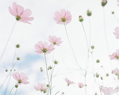 *cosmos (fangchun15) Tags: flower 120 film nature kodak 6x7 cosmos portra400 コスモス pentax67 巾着田 エビスカメラ