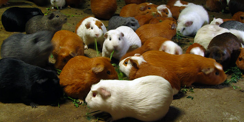 Cuy -- Guinea pigs being fattened for eating in Ollantaytambo