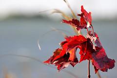 Le vent  /  The wind (anjoudiscus) Tags: autumn red tree nature leaves automne rouge maple ange acer bouquet boucherville arbre qc feu feuilles rable octobre levent aceraceae 2011 d90 thewind pdu vr28300mmnikon