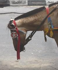 Sleeping horse on jalan Pantai Kuta . (Franc Le Blanc .) Tags: sleeping bali horse animal lumix waiting panasonic dokar kuda pantai kuta