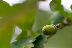 Acorn (~ Marjolein ~) Tags: autumn tree fall herfst acorn eikel