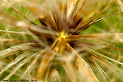 138/365 [365 Project] - Another Type of Dandelion (Stefano.Minella) Tags: flower macro set photoshop canon project eos is photo day with post 33 head  seed like 100mm dandelion type l production how another 365 usm f28 ef stefano lightroom 138 500d 2011 minella 138th i cs5 138365 mygearandme mygearandmepremium mygearandmebronze mygearandmesilver