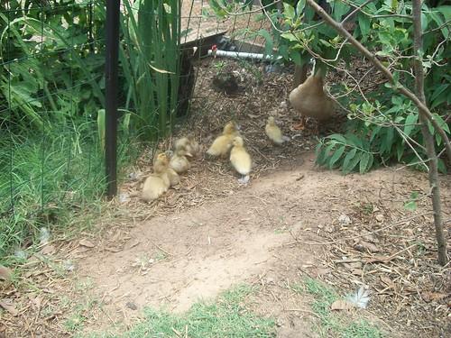 Tessy Ducklings 020