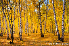 Autumn birch forest (Feng Wei Photography) Tags: china trip morning travel autumn trees light wild vacation sunlight color colour tree fall tourism nature colors beautiful beauty leaves yellow rural forest season relax landscape golden countryside amazing woods scenery perfect colorful asia paradise peace view outdoor vibrant rustic relaxing scenic vivid peaceful foliage explore glorious journey serenity stunning vista xinjiang remote serene birch 中国 新疆 wilderness oriental relaxed picturesque kanas breathtaking magnificent primitive hemu 禾木 unexplored