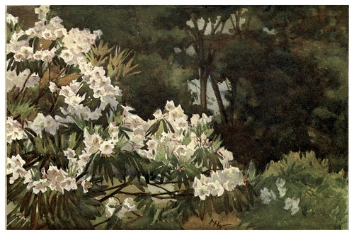 026-Rododendro Aucklandi en Cornwall- Flower grouping in English, Scotch & Irish gardens 1907- Margaret Waterfield