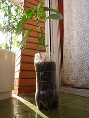 planta pimiento en botella de litro y medio