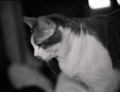 retro milo (davedehetre) Tags: bw white black blur film monochrome cat fur 50mm ae1 milo whiskers f18 c41