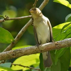 Sporophila bouvronides (mazama973) Tags: bird birds aves lessons emberizidae frenchguiana sporophila seedeater bouvronides sporophile fauxbouveron