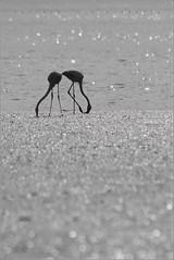 Entangled (Fernando Miguel Vicente) Tags: cloud nature birds rio canon river feeding lisboa lisbon flamingo natureza group band reserve sigma aves maritime 7d comer tejo pssaros grazing tagus marinha reserva alimentar esturio pastar ilustrarportugal 150500 thewonderfulworldofbirds
