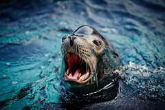 need to see a dentist... (dawvon) Tags: ocean sea hk animals hongkong marine sealion    hongkongisland oceanpark californiasealion  pacificpier wongchukhang     foursquarevenue303342