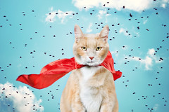 every cat's fantasy (mosippy) Tags: sky birds composite clouds cat orangecat crookshanks fantasy superhero cape determined windblown supercat