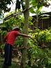 Marota o Trepadora (ciatevents) Tags: cosecha chontaduro mercados platoneras