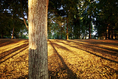 Golden Light (forever changing) Tags: trees light orange sun grass leaves closeup parks forests