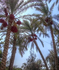Palm trees with dates (Mohamed Abdel Samad) Tags: egypt palmtree dates hdr