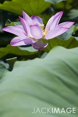 _MG_33895   (- jackimage) Tags: canon5d    lotusflower       jackimage 0980319630 1200